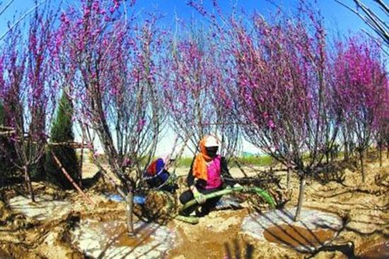 河北省张家口市经济开发区滨河路给新栽植的树木浇水