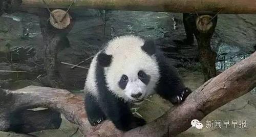 此次引进的4只大熊猫将在棋盘山风景区内的沈阳森林qq怎么弄指定红包园安家.